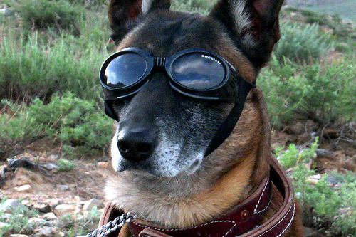 cool dog wearing goggles